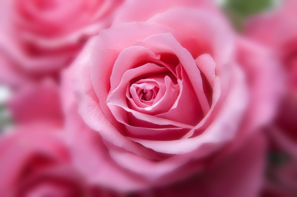 Roses Pink 1500