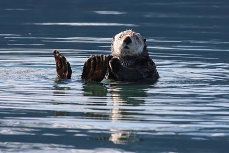 sea-otter-450